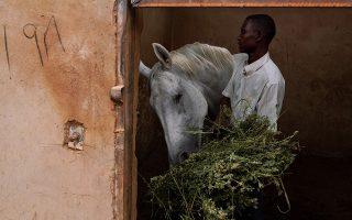 Λευκή καλλονή. Ενας εργαζόμενος ταΐζει ένα από τα άλογα του ιδιωτικού Ιππικού Κλάμπ του Χαρτούμ.  REUTERS/Andreea Campeanu