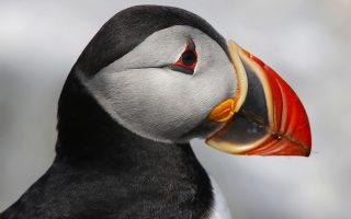 Οταν ο έρωτας σε κάνει να λάμπεις. Μια φρατέρκουλα φωτογραφίζεται στο  Eastern Egg Rock ένα μικρό νησάκι στις ακτές του Μέιν. Τα χρώματα του εντυπωσιακού πουλού του Ατλαντικού την περίοδο του ζευγαρώματος γίνονται πιο φωτεινά για να γίνουν πάλι μουντά τον χειμώνα. (AP Photo/Robert F. Bukaty)