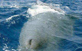 Οι φάλαινες του βόρειου Ατλαντικού απώλεσαν μέσα στο καλοκαίρι το 2% του συνολικού πληθυσμού τους, έπειτα από συγκρούσεις τους με πλοία.
