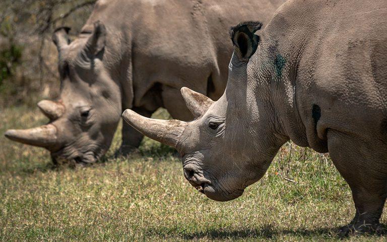 Επιστημονική προσπάθεια διάσωσης του βόρειου λευκού ρινόκερου