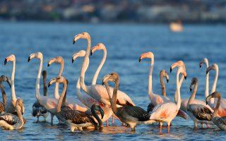 Ένα κοπάδι φλαμίνγκο ξεκουράζεται στη θαλάσσια περιοχή στον Υδροβιότοπο της Νέας Κίου, Τρίτη 20 Αυγούστου 2019. Τα πανέμορφα πτηνά ουσιαστικά έκαναν μία «στάση» στον υδροβιότοπο της Νέας Κίου, πριν συνεχίσουν το μακρύ ταξίδι τους. Τα αγέρωχα φλαμίνγκο, με το υπέροχο ροζ χρώμα τους, έκαναν τους πάντες να σταθούν και να τα θαυμάσουν στη μικρή πόλη της Αργολίδας, που απέχει 6 χιλιόμετρα από το Ναύπλιο. Την περίοδο αυτή τα φοινικόπτερα βρίσκονται στη Φθινοπωρινή μετανάστευση των πτηνών. ΑΠΕ-ΜΠΕ/ΑΠΕ-ΜΠΕ/ΜΠΟΥΓΙΩΤΗΣ ΕΥΑΓΓΕΛΟΣ