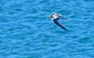 Γλάρος το είδος χειμωνογλάρονο πετά στην παραλία της Καραθώνας στο Ναύπλιο, Σάββατο 26 Ιανουαρίου 2019. ΑΠΕ-ΜΠΕ/ΑΠΕ-ΜΠΕ/ΜΠΟΥΓΙΩΤΗΣ ΕΥΑΓΓΕΛΟΣ