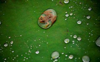 Ο πρίγκιπας. Κυκλωμένος από μια μεγάλη στάλα βροχής ένας μικρός βάτραχος φωτογραφίζεται πάνω σε ένα λωτό στο Laitpur του Νεπάλ. REUTERS/Navesh Chitrakar