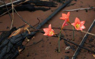 Ο Αμαζόνιος ανθίζει. Αν και ακόμη οι φωτιές μαίνονται σε μεγάλο μέρος των τροπικών δασών η ελπίδα ανθίζει. Αυτής της αναγέννησης του δάσους, ακριβώς δίπλα στα καμένα δένδρα και με το χώμα γεμάτο στάχτη, οι σπόροι άνθισαν στο Chochis  της Βολιβίας. REUTERS/David Mercado