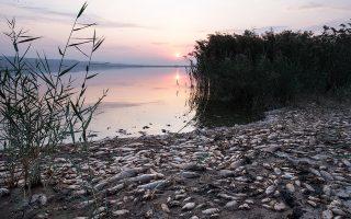 Χιλιάδες ψάρια εκβράστηκαν νεκρά, τις τελευταίες ημέρες, γύρω από τη λίμνη Κορώνεια. Και αυτό διότι η στάθμη του νερού έχει κατέβει σημαντικά, φτάνο-ντας μόλις τα 60 με 80 εκατοστά. Προ πενταετίας το βάθος της λίμνης έφτανε τα τρία μέτρα, αλλά λόγω της ανομβρίας και της μη συντήρησης των έργων που διοχετεύουν νερό στη λίμνη, το νερό έχει μειωθεί δραματικά.
