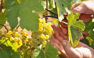 Το κρασί αντιμετωπιζόταν ανέκαθεν και ως βασικό συστατικό της θρησκείας, αφού οι αρχαίοι Ελληνες πίστευαν ότι το αίμα του σταφυλιού είναι αίμα του θεού Διονύσου και ότι πίνοντας κρασί μεταλαμβάνουν από το αίμα του θεού.