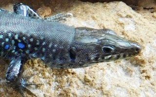 Πιο ευπαθή είναι είδη όπως η γραικόσαυρα (φωτ.) και η σαύρα του Μοριά, που ζουν σε μεγάλο υψόμετρο.