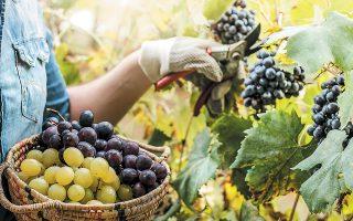 H φετινή παραγωγή λευκών κρασιών εκτιμάται από τους οινολόγους ως εξαιρετική. Οσον αφορά τα κόκκινα κρασιά, οι οινοποιοί αναφέρουν ότι οι προοπτικές φάνταζαν επίσης πολύ καλές, ωστόσο σημειακά η ποιότητα δεν ήταν η αναμενόμενη.