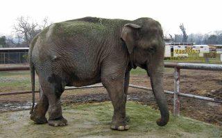 Ο Ramba επέστρεψε στο φυσικό του περιβάλλον μετά από δεκαετίες αιχμαλωσίας