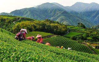 Συλλέγοντας εκλεκτό τσάι oolong με την πρωινή δροσιά, στο Alishan. (Φωτογραφία: Shutterstock)
