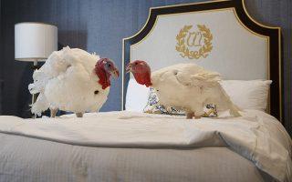 Το πεντάστερο του μακαρίτη. Σε ένα υπόδειγμα αμερικανικής αισιοδοξίας, παραμονές των Ευχαριστιών ο Πρόεδρος των ΗΠΑ, χαρίζει την ζωή σε μια γαλοπούλα. Δυο επιλεγμένα τροφαντά πουλιά, σαν τους εικονιζόμενους Bread  και Butter που ταξίδεψαν από την Βόρεια Καρολίνα και μένουν στο Willard InterContinental Hotel στην Ουάσιγκτον, θα παρουσιαστούν σε ειδική τελετή μπροστά στον Ντόναλντ Τραμπ. Εκείνος με χαρά θα χαρίσει την ζωή σε μια από τις δύο, αποσιωπώντας ότι η άλλη θα σφαχτεί και θα φαγωθεί στις γιορτές. (AP Photo/Jacquelyn Martin)