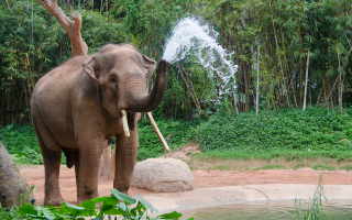 elefantas-tis-soymatras-vrethike-apokefalismenos-me-xerizomenoys-toys-chayliodontes-toy0