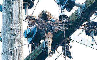 Ο άτυχος αετός έπεσε θύμα ηλεκτροπληξίας στον Θεσσαλικό Κάμπο, στην προσπάθειά του να ξεκουραστεί σε έναν πυλώνα μεταφοράς ρεύματος.