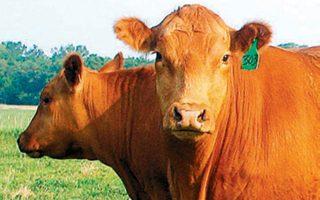 Είναι γνωστό ότι οι αγελάδες είναι δεινές κολυμβήτριες, μάλιστα απέδειξαν ότι τα καταφέρνουν και στις μεγάλες αποστάσεις.