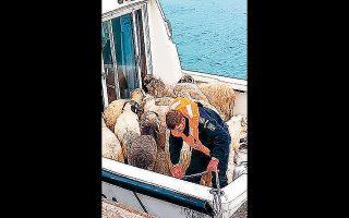 Eλάχιστα από τα πρόβατα που κολυμπούσαν γύρω από το φορτηγό «Βασίλισσα Χιντ» διασώθηκαν.