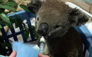 eythanasia-sto-mikro-koala-poy-kaike-stis-pyrkagies-tis-aystralias0