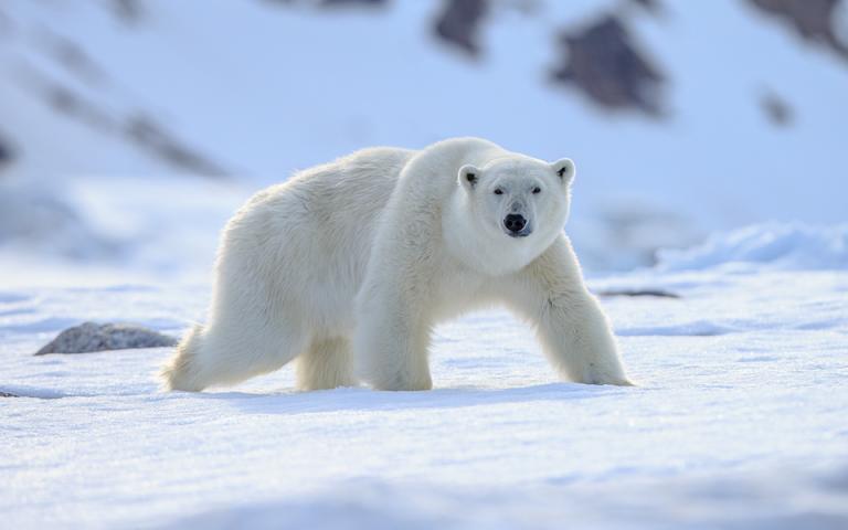 Ρωσία: Επιστήμονες προτείνουν την εκκένωση οικισμού που έχει κατακλυστεί από πολικές αρκούδες