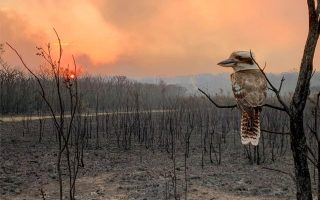 A kookaburra perches on a burnt tree in the aftermath of a bushfire in Wallabi Point, New South Wales, Australia, November 12, 2019, in this image obtained from social media. Courtesy of Adam Stevenson/Social Media via REUTERS. ATTENTION EDITORS - THIS IMAGE HAS BEEN SUPPLIED BY A THIRD PARTY. MANDATORY CREDIT ADAM STEVENSON. NO RESALES. NO ARCHIVES.     TPX IMAGES OF THE DAY