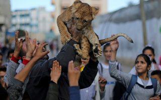 Μια ψυχή ως ατραξιόν. Την απίστευτη τύχη είχαν τα παιδιά στην Γάζα να χαϊδέψουν ένα λιονταράκι που γεννήθηκε αρχές του φθινοπώρου στον ζωολογικό κήπο.  REUTERS/Ibraheem Abu Mustaf