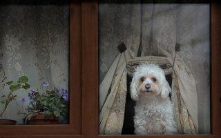 Ανθισμένο παράθυρο. Βιολέτες, γεράνια και μια ανθισμένη κουρτίνα που παραμερίζει για να χαρίσει στον σκύλο του σπιτιού θέα στο πεζοδρόμιο. Όλα αυτά σε ένα σπίτι του Βουκουρεστίου. (AP Photo/Vadim Ghirda)