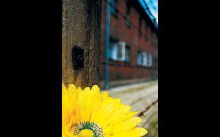 Eνα λουλούδι στα συρματοπλέγματα του στρατοπέδου συγκέντρωσης Αουσβιτς - Μπιρκενάου.