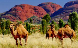 aystralia-oi-arches-skotosan-5-000-kamiles-en-meso-xirasias0