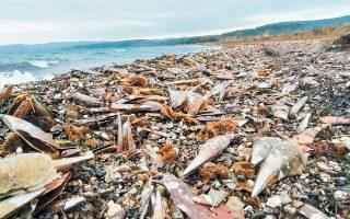 Το παράσιτο που «σκοτώνει» από το 2018 τις πίνες και στη χώρα μας έπληξε και τον υγιή πληθυσμό στη Λέσβο. Η θάλασσα στο νησί το τελευταίο διάστημα ξεβράζει νεκρές πίνες. Εικόνες σαν και αυτές είδαμε και σε άλλες περιοχές όπως ο Θερμαϊκός, ενώ κρούσματα έχουν καταγραφεί στον Κορινθιακό και στον Μαλιακό.
