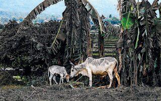 Πολλά ζώα έχουν καλυφθεί εν μέρει από την τέφρα του ηφαιστείου Τάαλ.
