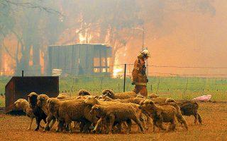 Αλαφιασμένα τα πρόβατα βλέπουν τον πυροσβέστη αποκαμωμένο από τη μάχη με τις φλόγες, οι οποίες πλησιάζουν αδηφάγες και ανεξέλεγκτες, στη Νέα Νότια Ουαλλία της Αυστραλίας. Οι μεγα-πυρκαγιές στη μακρινή ήπειρο έχουν προκαλέσει ολοκαύτωμα: δεκάδες ανθρώπινα θύματα, τεράστια καταστροφή στην οικονομία (σπίτια, επιχειρήσεις, ζωικό κεφάλαιο) της χώρας, αλλά και στην ιδιαίτερη πανίδα και χλωρίδα της.