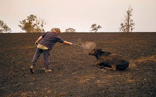 Ενας πυροσβέστης έγραψε ότι θα έπρεπε να είχαν πυρομαχικά «για να γλιτώσουν τα ζώα από τη δυστυχία τους».  Είναι χαρακτηριστική της φρίκης η εικόνα ενός αγρότη που πυροβολούσε τα τραυματισμένα ζώα του με καραμπίνα.