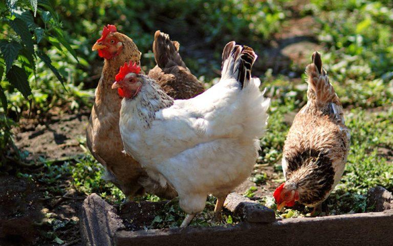 Το κοτόπουλο, τα είδη, οι διαφορές τους