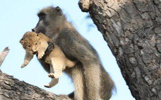 Ο απαγωγέας; Μια εντελώς παράδοξη συμπεριφορά κατέγραψε ο φωτογραφικός φακός και η παρατηρητικότητα ενός από τους εργαζόμενους του εθνικού πάρκου Kruger στην Νότια Αφρική. Ενας αρσενικός μπαμπουίνος έκλεψε ένα μικρό λιονταράκι που ξέφυγε από την επιτήρηση της μητέρας του και το ανέβασε στο δέντρο. Κρατώντας το σφιχτά το παρουσίασε στην φυλή του σαν δικό του διάδοχο, πηδώντας από κλαδί σε κλαδί. Η τύχη του μικρού λιονταριού παραμένει άγνωστη και όπως λέει ο Kurt Schultz που υπηρετεί στο πάρκο για 20 χρόνια δεν έχει ξαναδεί τέτοια πράξη. Kurt Schultz via AP