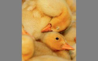 Το λοιμώδες νόσημα (Η5Ν8) έχει προσβάλει άγρια και οικόσιτα πτηνά σε ολόκληρη την Ευρώπη.