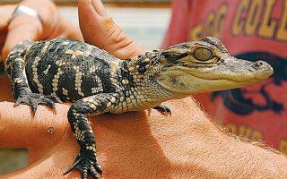 Νεαρός αλιγάτορας σε εκδήλωση στη Φλόριντα, όπου τα ερπετά ενδημούν χάρη στο υποτροπικό κλίμα και στην αφθονία θερμών υδάτων.