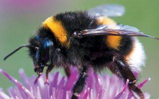 Οι πληθυσμοί αγριομέλισσας μειώνονται δραματικά και τα έντομα αυτά κινδυνεύουν με αφανισμό εξαιτίας της κλιματικής αλλαγής.