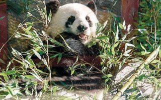 Η μαμά πάντα Μενγκ Μενγκ τρώει μπαμπού στον ζωολογικό κήπο του Βερολίνου, όπου οι επισκέπτες είναι πλέον είδος προς εξαφάνιση.