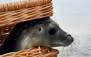 Ο Τριστάνος, η συμπαθής φώκια που κοιτάζει έξω από το καλάθι, απελευθερώθηκε στη Βόρεια Θάλασσα, σε ακτή γερμανικού νησιού.