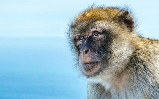 Οι Αμερικανοί επιστήμονες έφτασαν σε αυτό το συμπέρασμα μετά την ανακάλυψη τεσσάρων απολιθωμένων δοντιών ενός εξαφανισμένου, πλέον, είδους μαϊμούς στο Περού.