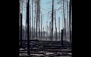 Καμένα δέντρα μετά τη μεγάλη φωτιά, 30 χλμ. από τη ζώνη αποκλεισμού γύρω από το Τσερνόμπιλ.