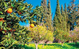 Οι παραγωγοί είδαν τα πορτοκάλια της ποικιλίας Μέρλιν να τελειώνουν πριν την ώρα τους, τη στιγμή που οι ποικιλίες που τη διαδέχονται, Lane Late και Βαλέντσια, δεν ήταν ακόμα έτοιμες για συγκομιδή.