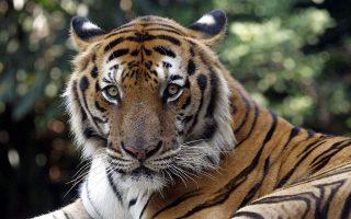 nea-yorki-thetiki-ston-koronoio-tigris-ston-zoologiko-kipo-toy-mpronx0