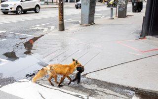 Το θύμα. Με ένα σκιουράκι στο στόμα τρέχει η αλεπού της φωτογραφίας στην πόλη του Τορόντο στον Καναδά. Οι απαγορεύσεις σιγά σιγά αίρονται και ο κόσμος κυκλοφορεί στην πόλη και σύντομα η αλεπού πρέπει να πάρει τα βουνά. REUTERS/Carlos Osorio