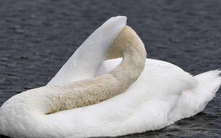 Πετούμενα 1. Ενας κύκνος βάζει σε τάξη το κορμί του. Ενα- ένα ξεδιπλώνει με το ράμφος τα φτερά στου στο Hyde Park  του Λονδίνου.  EPA/FACUNDO ARRIZABALAGA