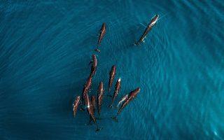 Οικογενειακές διακοπές. Μαυροδέλφινα με τα μικρά τους στραφταλίζουν στον ήλιο, κολυμπώντας στο Begur της Καταλονίας.   EPA/Fran Arnau
