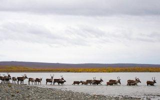 Τα καριμπού διασχίζουν τον ποταμό  Noatak κατά τη φθινοπωρινή  τους μετανάστευση. © Patrick Farrell