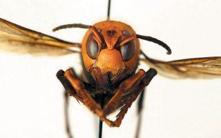 Η ασιατική γιγάντια σφήκα, μήκους 45 χιλιοστών, έχει μεγάλα μάτια και το κεφάλι της έχει πορτοκαλί χρώμα.