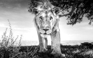 «Ο βασιλιάς έρχεται» τιτλοφορεί τη φωτογραφία του ο Purdy και σημειώνει ότι η μοναδική φορά που φοβήθηκε στη διάρκεια των φωτογραφίσεων ήταν όταν τρία λιοντάρια κύκλωσαν το αυτοκίνητό του, που δεν είχε πόρτες. (Φωτογραφίες: Graeme Purdy)