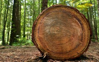 Το κούτσουρο μιας πανάρχαιης σεκόγιας. «Πριν από χρόνια, είχα απλώσει ένα λεπτό στρώμα κιμωλίας σε μία τομή της επιφάνειας του κούτσουρου, για να φανούν πιο εύκολα οι δακτύλιοι ανάπτυξης». Μέτρησαν περισσότερους από 2.000 δακτυλίους. «Εναν για κάθε χρόνο ζωής του δέντρου». SHUTTERSTOCK
