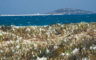 Το πιο γνωστό φυτό που φυτρώνει στις αμμοθίνες είναι το κρινάκι της θάλασσας (Pancratium maritimum) ή Παγκράτιο το παράλιο, που το αποκαλούν και «κρινάκι της Παναγίας».
