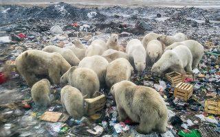 Όταν οι πάγοι υποχωρούν, οι πολικές αρκούδες δεν μπορούν να κυνηγήσουν φώκιες και αναγκάζονται να αναζητήσουν την τροφή τους στην ξηρά. © Alexander GRIR / AFP/visualhellas.gr